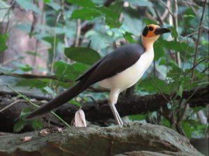 white-necked%20rockfowl