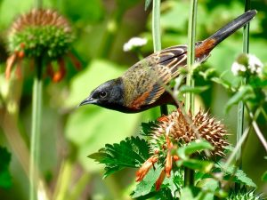 orchard%20oriole